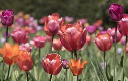 Multi coloured tulips. Royalty Free Stock Images