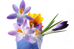 Multi Crocus Flowers. Multi crocus flower in gradient purple color and yellow on a medicine measurement cup, isolated on white Royalty Free Stock Image