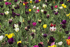 Multi das tulipas colorido Imagens de Stock