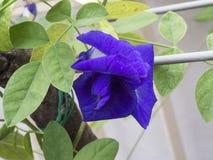 Multi de erwtenbloem van de bloemblaadjevlinder Royalty-vrije Stock Foto's