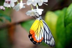 Multi Farbe auf Schmetterling Lizenzfreies Stockbild