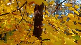 Multi farbige Baum-Blätter in Autumn Forest stock video