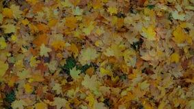 Multi farbige Blätter aus den Grund im Wald stock video