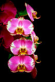 Multi farbige rosa Orchideen Stockfotos
