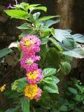 Multi farbige tropische Blumen der Trompete Lizenzfreie Stockfotografie