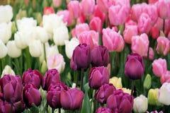 Multi farbige Tulpen stockfoto