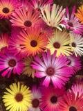 Multi farbiges Mesembryanthemums Lizenzfreies Stockfoto