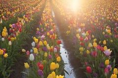 Multi Farbtulpen, die in den Sun glühen Stockfoto