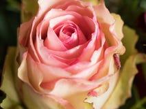 Multi fine colorata della rosa su Immagine Stock Libera da Diritti