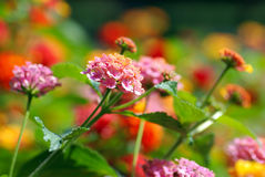 Multi flores coloridas Foto de Stock