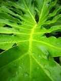 Multi-fork leaves with purple droplets,after rain Stock Images