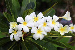 Multi Frangipanis flower Stock Images