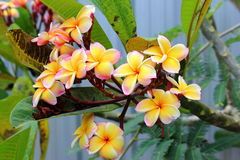 Multi Frangipanis flower Stock Photos