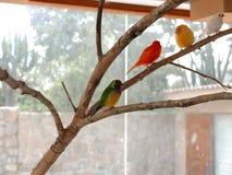 Multi gekleurde het zingen vogels op een tak Stock Fotografie
