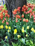 Multi gekleurde tulpen en gele narcissen op aardachtergrond Royalty-vrije Stock Fotografie