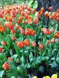 Multi gekleurde tulpen en gele narcissen op aardachtergrond Stock Afbeelding