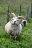 Multi horned овцы Иакова Стоковая Фотография RF