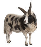 Multi-horned Jacob Ram, Ovis aries. In front of white background stock images