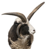 Multi-horned Jacob Ram, Ovis aries Stock Photo