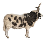 Multi-horned Jacob Ram, Ovis aries royalty free stock photography