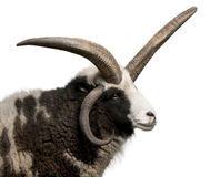 Multi-horned Jacob Ram, Ovis aries. In front of white background stock photo