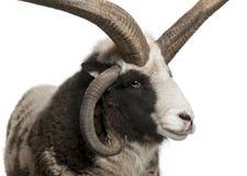 Multi-horned Jacob Ram, Ovis aries stock photos