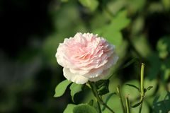 Multi layered bright white to light pink rose growing on warm summer day in local garden surrounded with pointy green leaves and. Stems from cut roses on warm royalty free stock photography