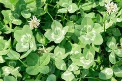 Multi-leaf clover Stock Images
