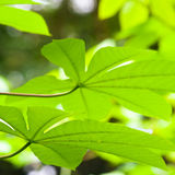Multi Lobe Leaves Underside Stock Photos