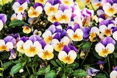 Multi pansies coloridos, filtro da foto Fotos de Stock
