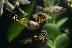 Multi pesce colorato del Guppy fotografia stock libera da diritti