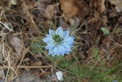 Delicate blue flower sprouting through roadside weeds royalty free stock images
