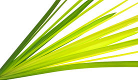 Multi-shade Green leaf of Cyprus papyrus Stock Photos