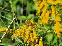 Common Butterflies and Bees on Goldenrod Royalty Free Stock Images