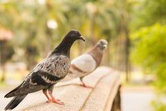 multi suporte Preto-cinzento do pombo da cor na ponte do arenito no parque com um borrão um outro fundo cinzento das árvores do p Foto de Stock Royalty Free