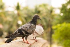 multi suporte Preto-cinzento do pombo da cor na ponte do arenito no parque com um borrão um outro fundo cinzento das árvores do p Fotos de Stock