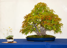 An multi trunk Japanese Acer Palmatum bonsai on display in Belfast northern Ireland. A multi trunk Japanese Acer Palmatum bonsai on display in Belfast northern Stock Photos