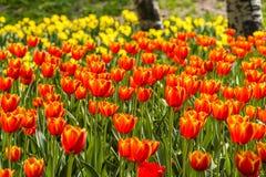 Multi tulipani di colore Fotografia Stock Libera da Diritti