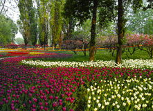 Multi tulipani di colore Fotografia Stock