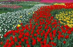 Multi tulipani di colore Immagini Stock