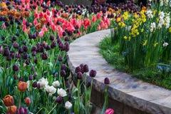 Multi tulipani di colore Fotografie Stock