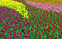 Multi tulipani di colore in giardino Immagine Stock