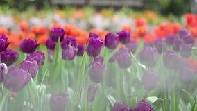 Multi tulipani e narcisi colorati sul fondo della natura video d archivio