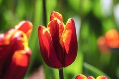 Multi tulipano umido di colore Fotografia Stock