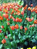 Multi tulipas e narcisos amarelos coloridos no fundo da natureza Imagem de Stock
