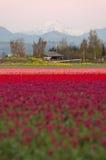 Multi valle Tulip Flowers di Skagit di colore della montagna del nord della cascata Immagini Stock Libere da Diritti