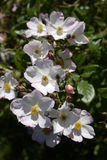 Multi white pale pink wild English rambling rose and buds Royalty Free Stock Photography