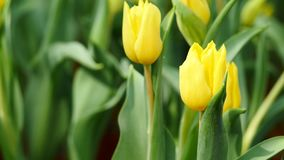 Multi yellow coloured tulips on nature background stock video