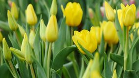 Multi yellow coloured tulips on nature background stock footage