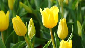 Multi yellow coloured tulips on nature background stock video footage